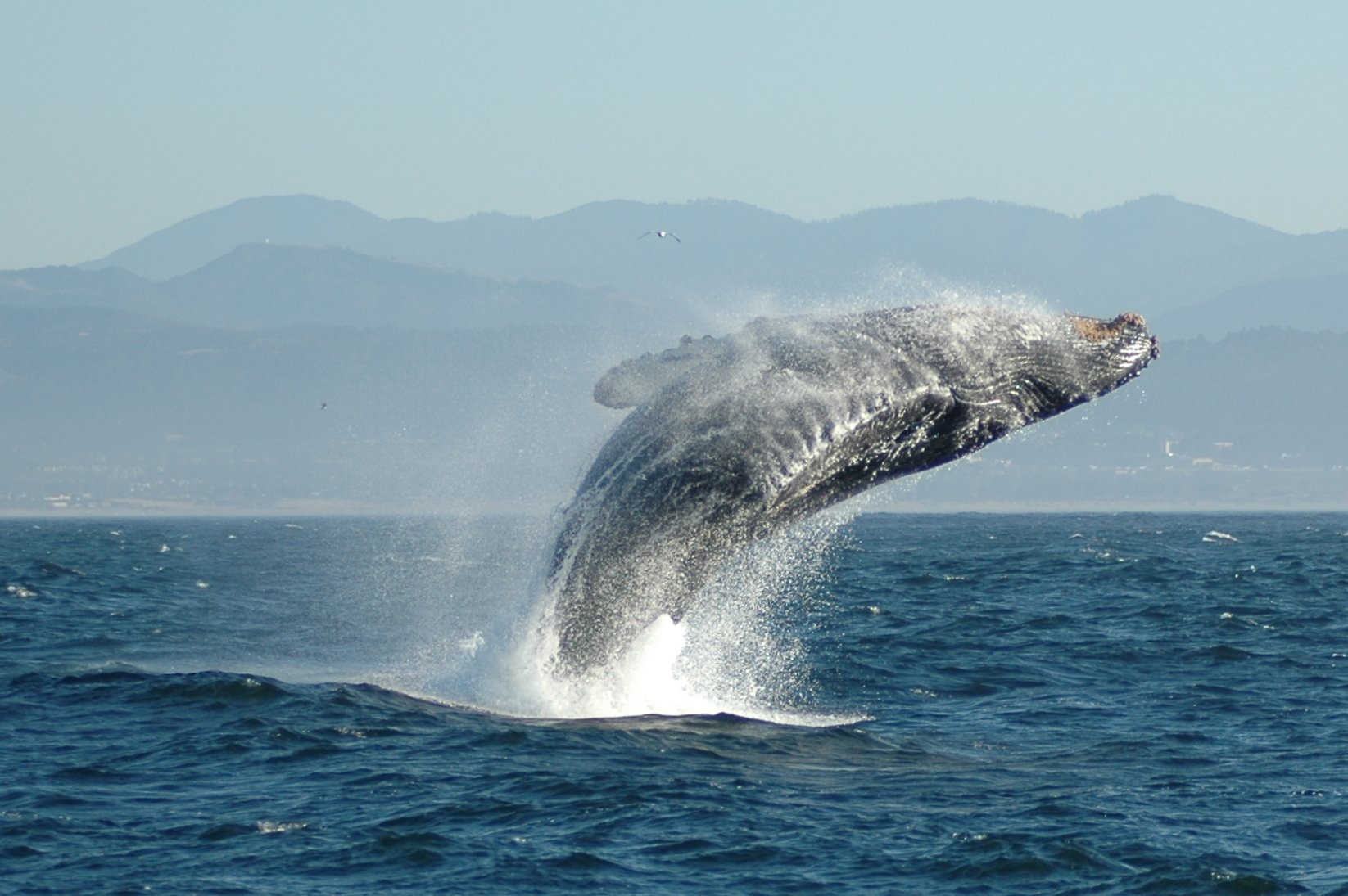 Jumping_whale